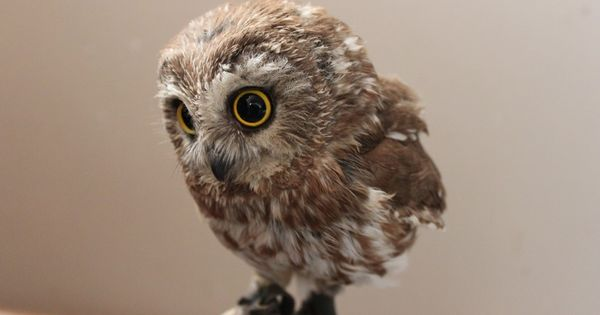 Cutest Baby Owls you have ever seen ♥ https://www.facebook.com/AmazingFactsandNature1