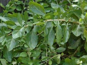 Wolfberry Aka Goji Berry Leaves Yum Goji Berries Chinese