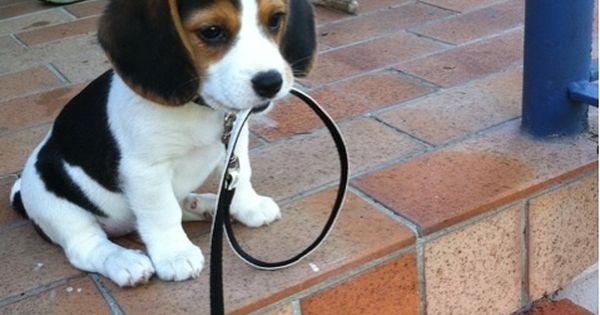 mini beagle puppy