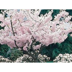 10 25 Gallon Multicolor Yoshino Cherry Flowering Tree In Pot With Soil L3234 Nursery Flowering Trees Potted Trees Yoshino Cherry