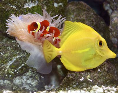 Great beginner fish for a saltwater aquarium yellow tang for Beginner saltwater fish