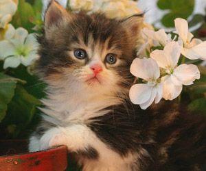 Des Moines Ia Munchkin Cats Des Moines Ia Persian Cats Des Moines Ia Himmie St Louis Himalayan Kittens Kittens Cutest Munchkin Kitten Munchkin Cat