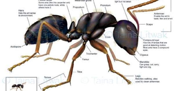 Carpenter Ant With Images Ants Carpenter Ant Weird Animals