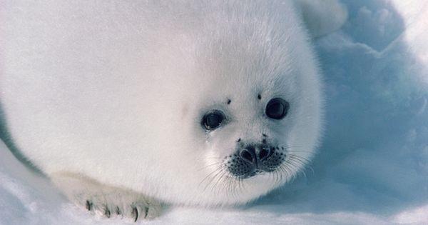 Harp Seals Harp Seal Baby Harp Seal Seal Pup