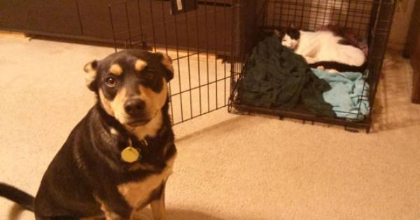 The cat stole the dog's bed inside his crate! The dog is