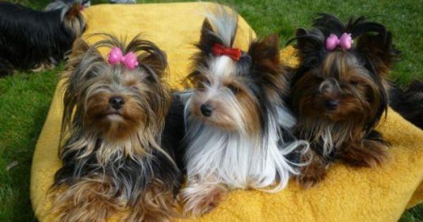 Aus Langjahriger Gepflegter Hobbyzucht Geben Wir Bieweryorkies Und Yorkies In Gute Hande Ab Die Elterntiere Haben Alle Ahnentafeln U Welpen Welpen Kaufen Hunde