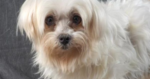 Adopt Puddles A Lovely 8 Years 5 Months Dog Available For Adoption At Petango Com Puddles Is A Maltese And Is Available At Dogs Rescue Dogs Puppy Adoption