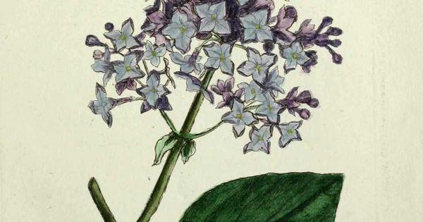 Img gravures anciennes de plantes et fleurs lilas syringa vulgaris queue de renard des - Queue de renard fleur ...