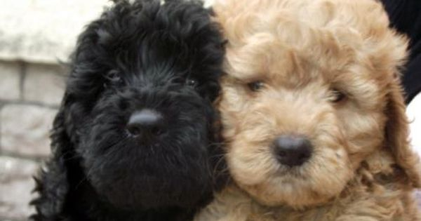 Gorgeous Cockapoo Both 0 8 Weeks For Sale In Avon South West