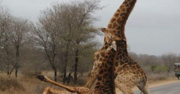 Drunk Giraffes Humor: Let's get you home buddy. Dammit Frank, keep it