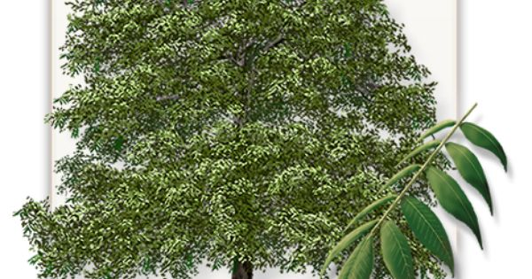 Mature Pecan Trees For Sale