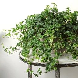 Hedera helix 'Curly Locks' | Indoor plants, Ivy houseplant ... on common plants used in baskets florist, common house plant problems, common household plants, round leaves with ivy, variegated ivy, common names of indoor plants, hedera glacier ivy,