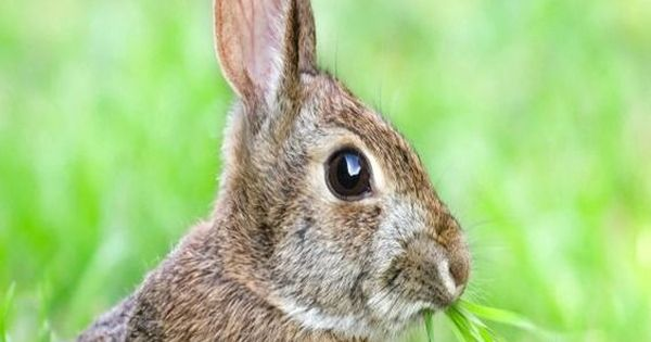 7 natural ways to repel rabbits from your garden pinterest gardens natural and rabbit for How to deter rabbits from garden