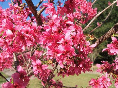 Taiwan Cherry Trees Erupts In January Or February With Flamingo Pink Flowers February Taiwancherry Flowering Cherry Tree Ornamental Cherry Flowering Trees