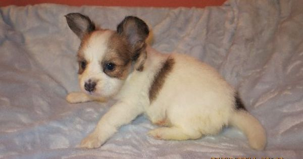 Puppies For Sale Updated 7 16 Sunshine Papillons Papillon Puppy Papillon Puppies For Sale Papillon Dog Puppy