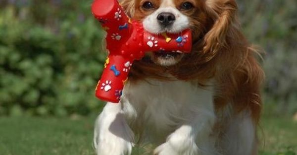 A Photo Of A 1 Year Old Brown Cavalier King Charles Spaniel She Cavalier King Charles Dog Cavalier King Charles Spaniel King Charles Cavalier Spaniel Puppy