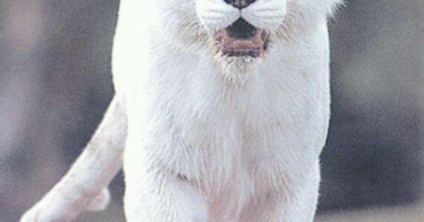 Albino Panther | Animals | Pinterest | Animal, Cat things ...