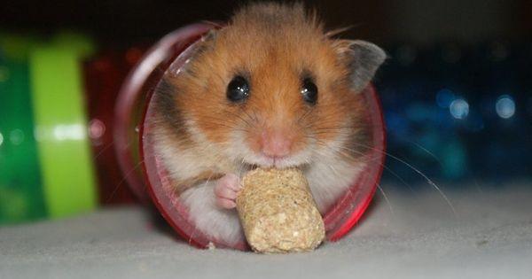 Sonny the Teddy Bear Hamster Hamsters Pinterest