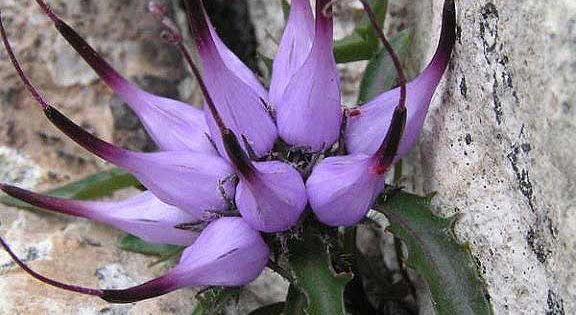 Physoplexis comosa (tufted horned rampion) is a species of flowering plant in