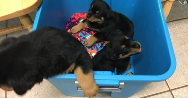 Rottweiler Puppy For Sale In Port Saint Lucie Fl Adn 27767 On Puppyfinder Com Gender Female Rottweiler Puppies Puppies For Sale Rottweiler Puppies For Sale