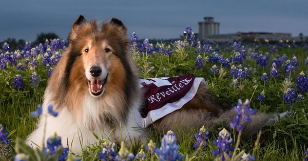 Texas A M University On Instagram A Classic Texas Duo Miss Rev Bluebonnets Photo Shared From Reveille S Twi Rough Collie Dog Love Dog Pictures