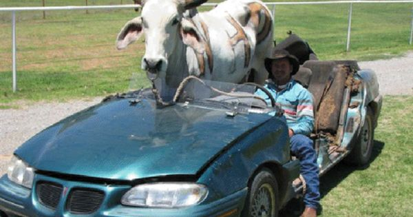 45 Best Things About Living In Oklahoma Funny Cow Pictures Cows Funny Funny Animal Pictures