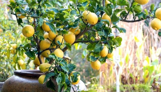 How to grow a potted lemon tree | container gardening