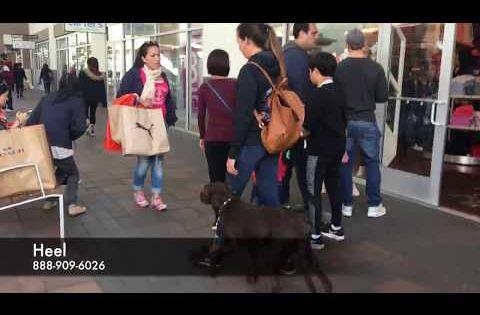 Labrador Retriever Puppies Jackson Ms Chocolate Lab Jake L