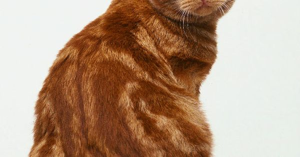 British Shorthair Red Tabby | Cats | Pinterest | Cats ...