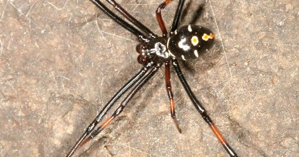 Latrodectus Variolus Male 1 Jpg 686 800 Black Widow Spider Spider Wolf Spider