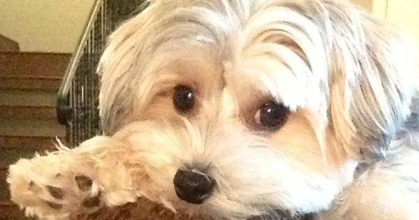 Sweet Samson Morkie Puppylove Morkie Cuts Grooming