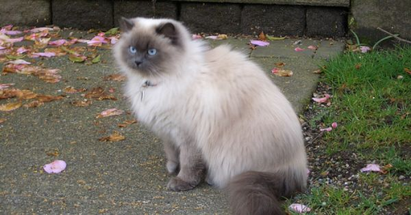 Persian Siamese Cross So Fluffy Himalayan Cat Pretty Cats Cats