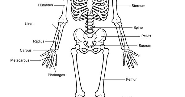 human-skeleton-labeled (1159×1500) | drawing anatomy | pinterest, Skeleton