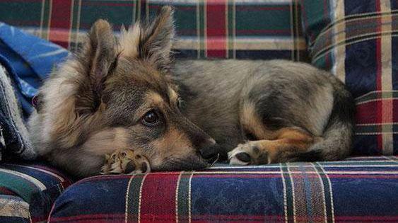 9 croisement entre un chien de race berger allemand et un corgi chiens p - Croisement chien insolite ...
