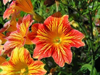 Salpiglossis Painted Tongue Morning Glory Seeds Blooming Plants Annual Flowers