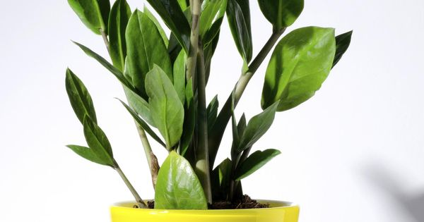 Hardy houseplants that won 39 t die easily big daddy low lights and bright lights - Hardy office plants ...