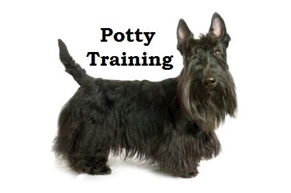 Scottish Terrier Puppies How To Potty Train A Scottish Terrier
