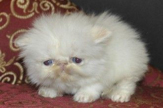 Similarfind Miami Persian Persian Cats For Sale Persian Kittens Kittens
