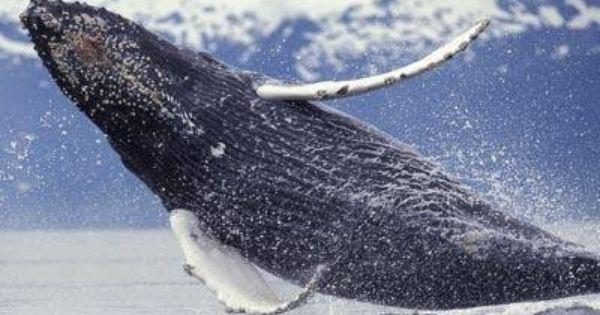 Incredible Mit Bildern Wale Und Delfine Wale Tiere
