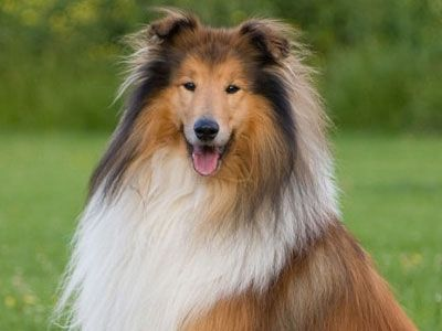 Collie Price Temperament Life Span With Images Large Dog