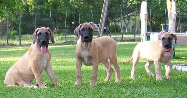 Video Akc Great Dane Fawn Puppies Health Guarantee Great Dane