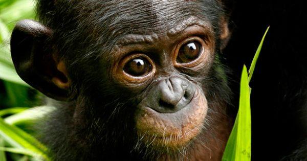 A Young Bonobo Ape A Primate Unique To Congo And