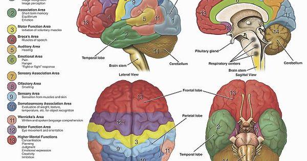 Human Brain Model Homemade - Bing Images | Biology ...