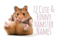 72 Cute And Funny Hamster Names For Males And Females Funny Hamsters Cute Hamster Names Cute Pet Names