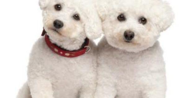 Honden Kids Bichon Dog Bichon Frise Poodle