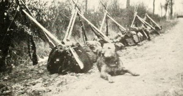 Wwi Airedale Terrier Guarding The Supplies War Dogs Airedale