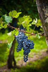 Pruning Concord Grape Vines After The End Of The Season Is Some
