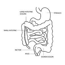 Top 10 Anatomy Coloring Pages For Your Toddler Large Intestine Irritable Bowel Syndrome Intestines