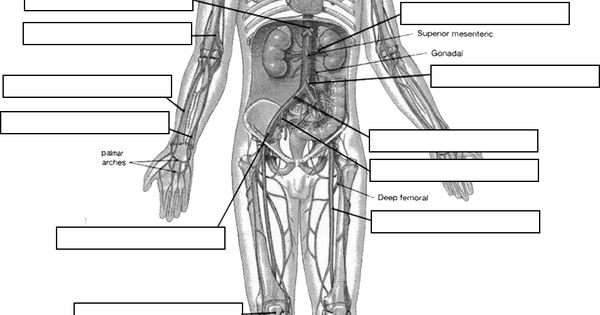 Circulatory System Diagram Worksheet