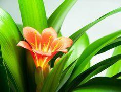 Comment Faire Refleurir Un Clivia Faire Refleurir Une Orchidee